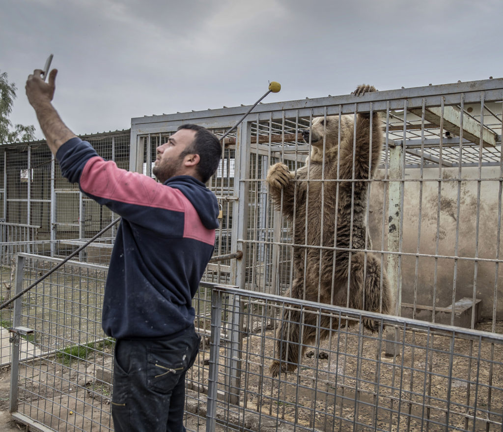 På Muntazr al Noor zoo i Mosul har alla djur dött eller transporterats bort utom en björn och lejonet Simba.